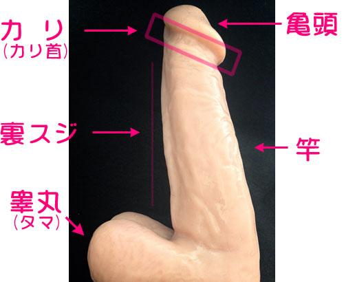 男性器の解説1
